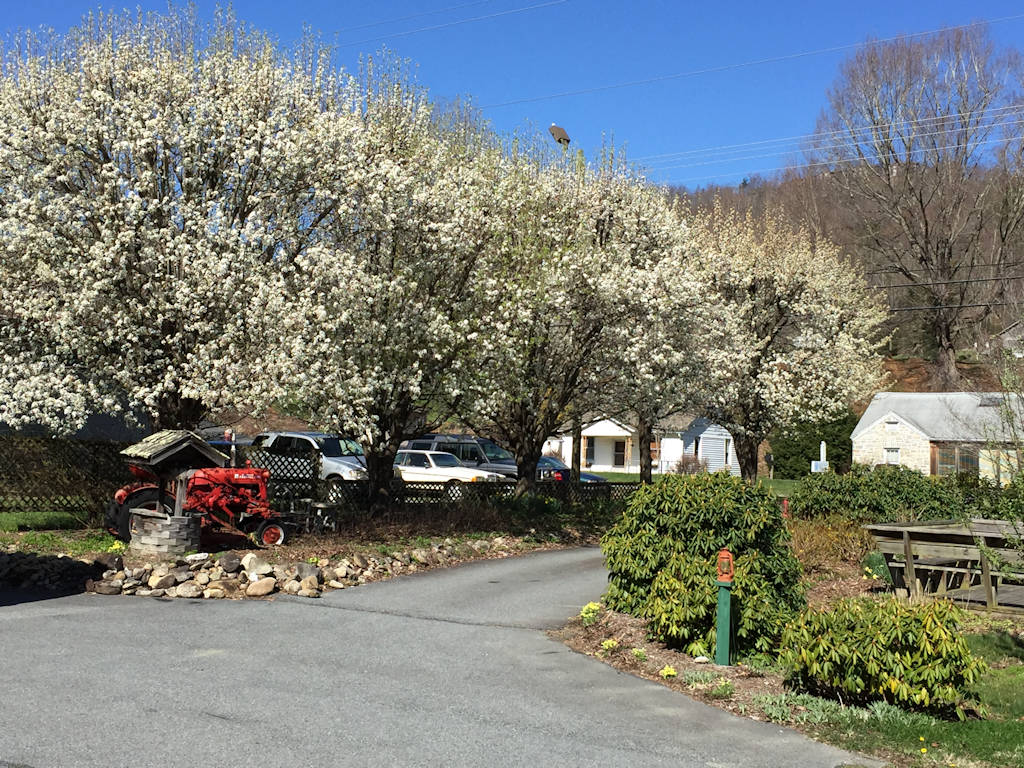 Flowering Spring Trees at Hidden Valley Motel